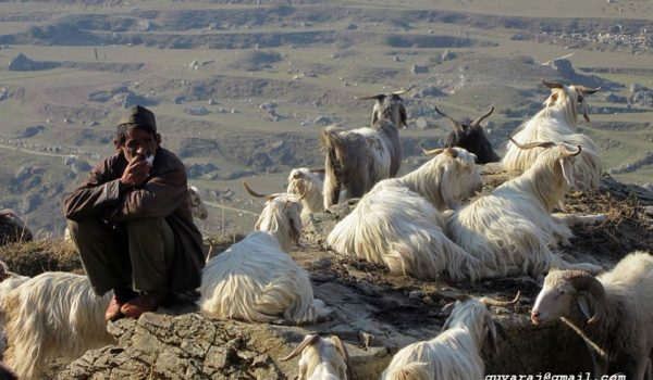 Shepherd with his flock in Darma Valley